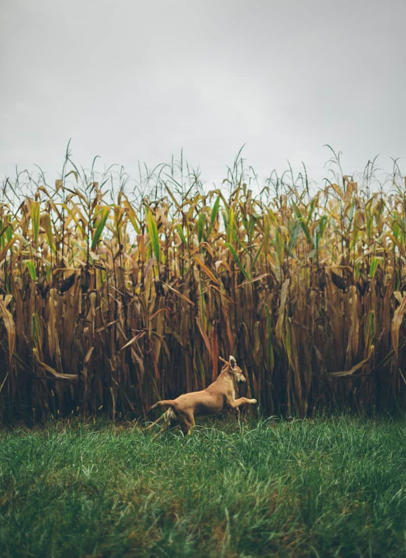 dog-corn-stalks-800×1100-1